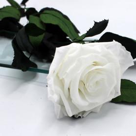 Rose blanche sur tige
