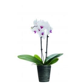 Pot orchidée phalaenopsis en céramique deux tons Dylae