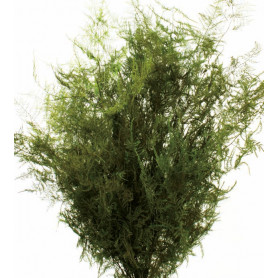 Asparagus 120g - grossiste fleuriste