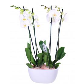 Coupe double orchidée