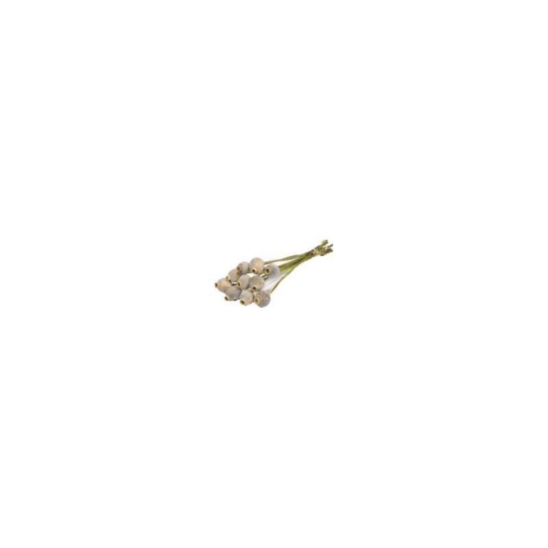 Papaver séché - Grossiste fleurs séchées