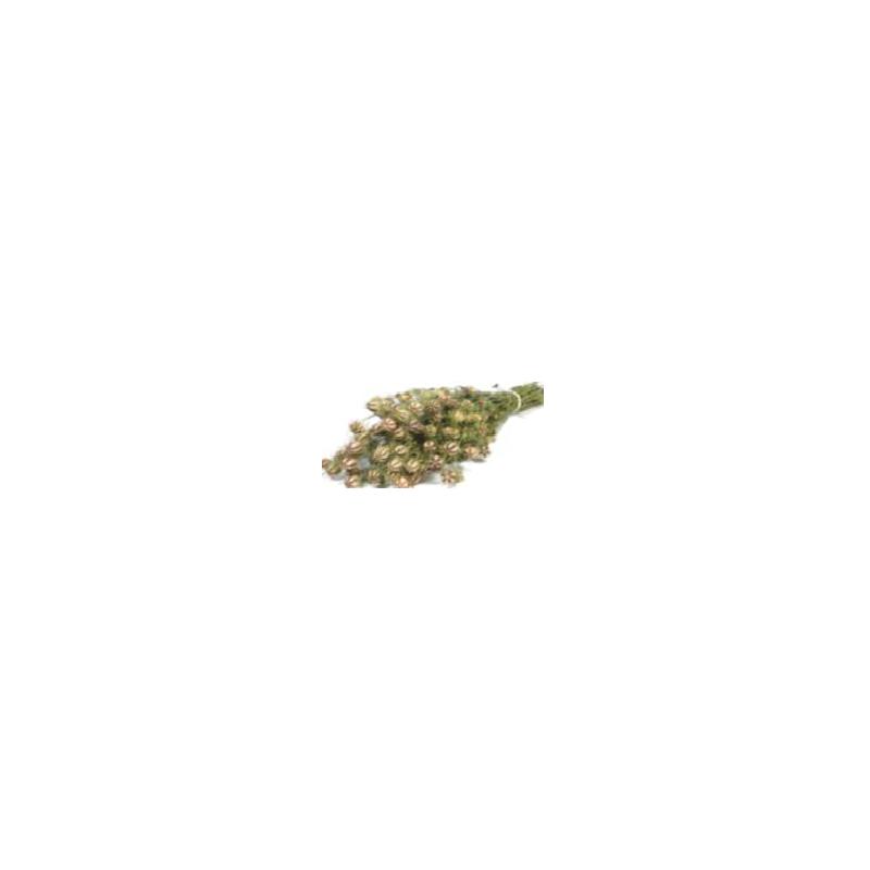 Nigella séché - Grossiste fleuriste