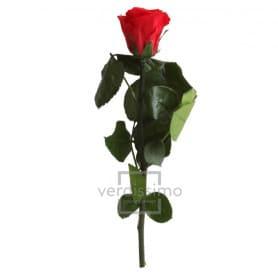 Mini rose tigée Amorosa