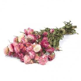 Helichrysum rose clair séché - Grossiste fleuriste