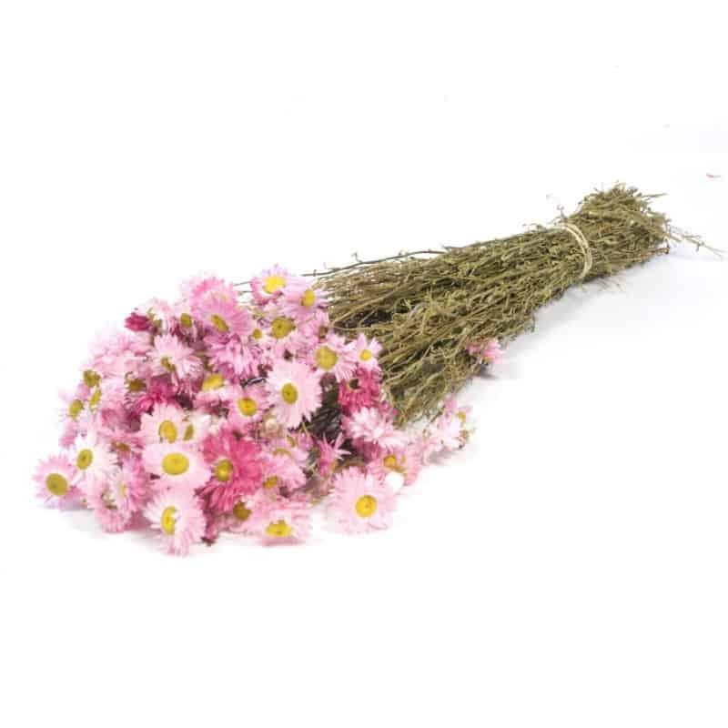Acrolinium rose clair séché - Grossiste fleurs séchées