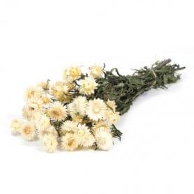 Helichrysum blanc séché - Grossiste fleuriste