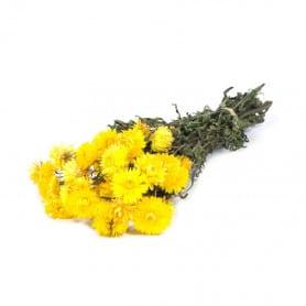 Helichrysum jaune séché - Grossiste fleuriste