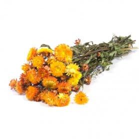 Helichrysum orange séché - Grossiste fleurs séchées