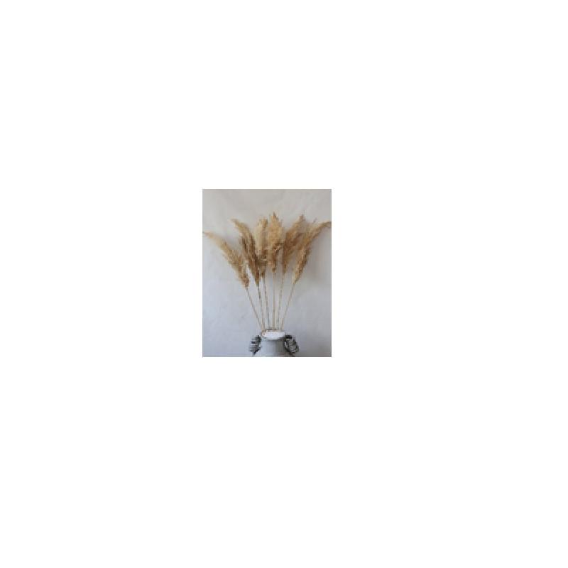 Fleurs de Pampa 65-75cm - Plusieurs couleurs - grossiste fleuriste