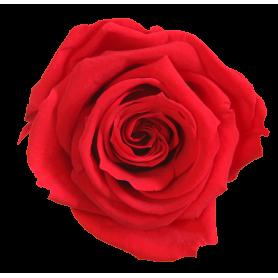 Tête de rose premium