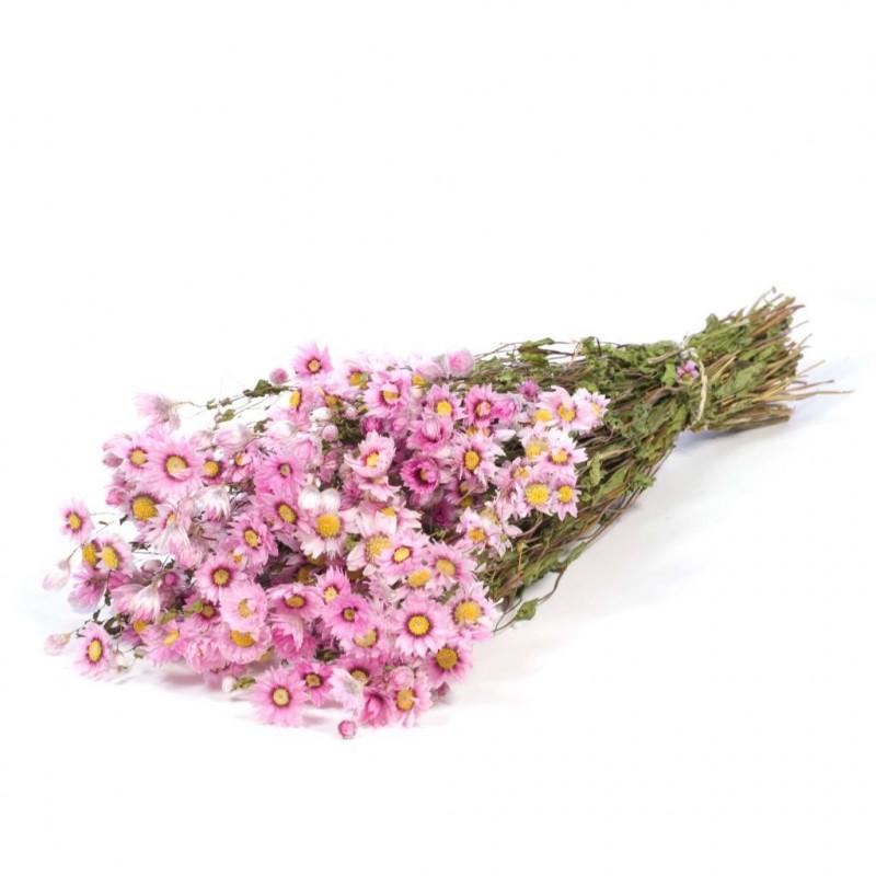 Botte de fleurs séchées Rodanthe - Grossiste fleurs petits prix déco