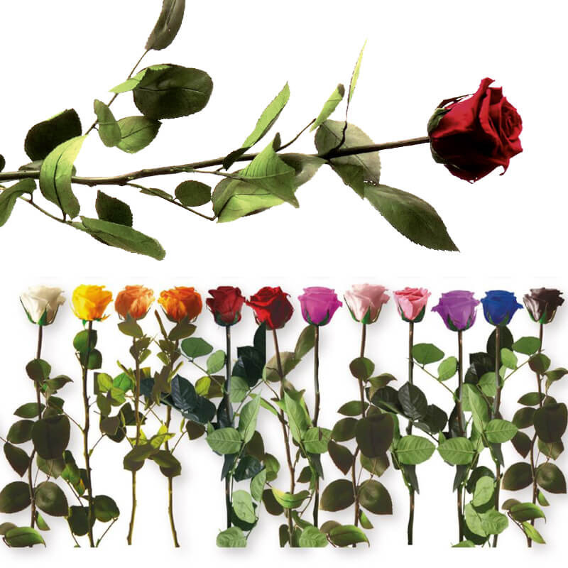 Rose éternelle tigée Amorosa 53cm - grossiste roses éternelles