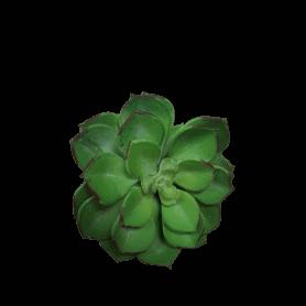 Succulente Echeveria H. 18cm