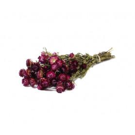Helichrysum rose séché