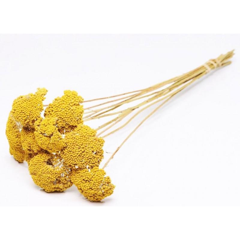 Botte d'Achillea Parker  - grossiste fleurs séchées