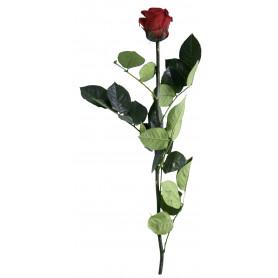 Rose tigée Amorosa