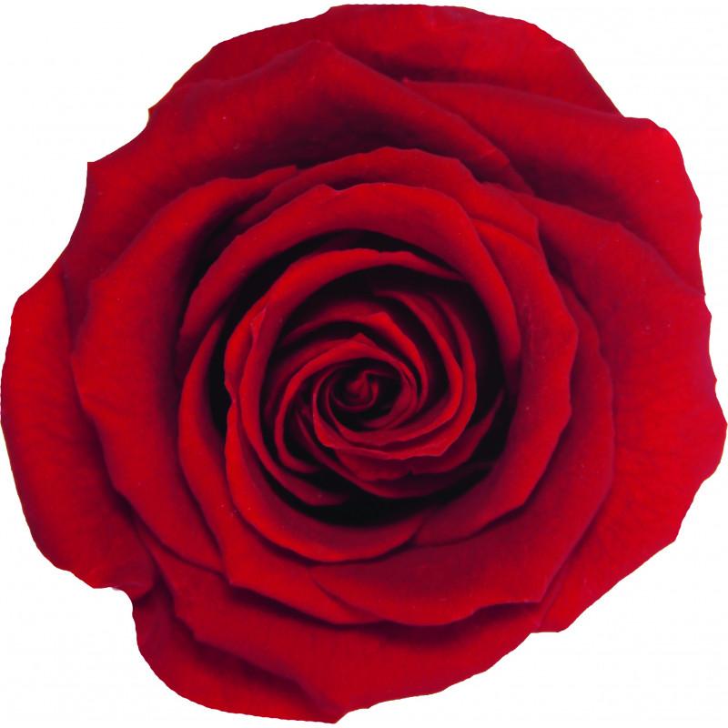 Tête de rose média
