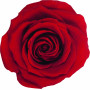 Têtes de rose éternelle média